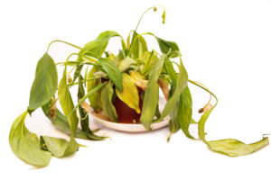 Wilted houseplant